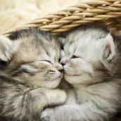 Cute tabby kittens wallpaper