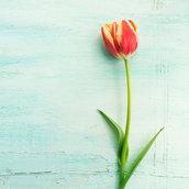 Spring Tulip Wallpaper