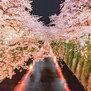 Night cherry blossoms Wallpaper