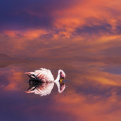 Flamingo in Bolivia Wallpaper
